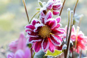 plante jardin de noel