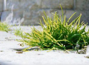 Les mauvaises herbes ne sont pas forcément à éliminer.