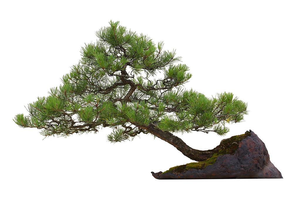 Les astuces pour faire un bonsai
