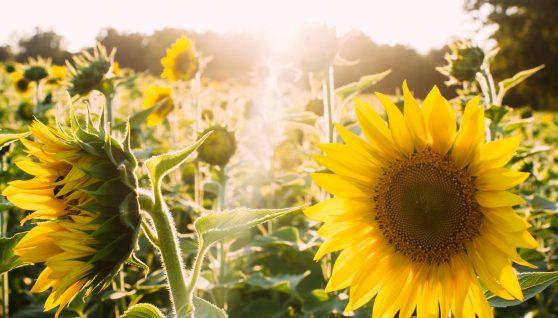 Un champ de tournesols avec reflet du soleil