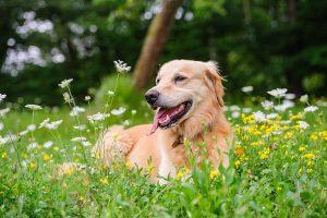 Golden retriever au milieu de fleurs jaunes et blanches dans le jardin