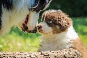 Maman chien et son chiot en train de faire un calin dans l'herbe du jardin clôturé
